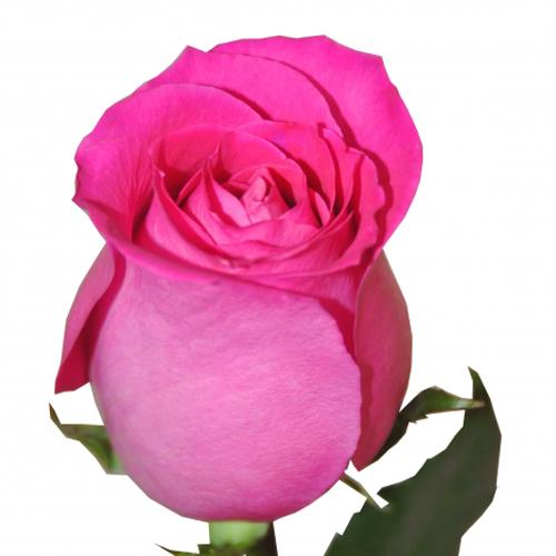 Импортная розовая роза 90-100 см