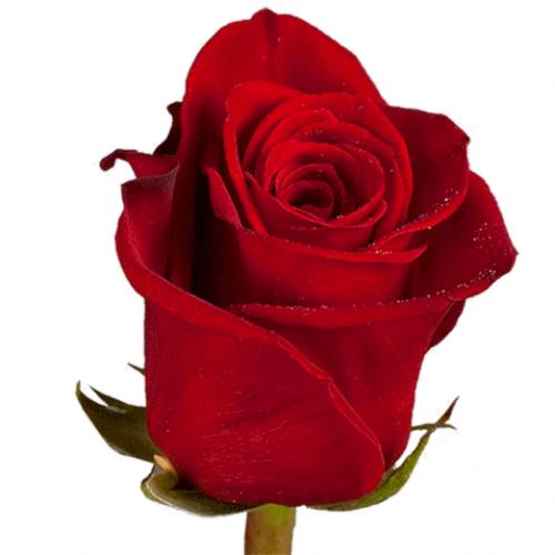 Импортная роза 90-100 см сорт Фридом