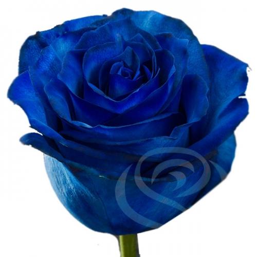 Синяя роза (импортная 80-90 см)